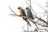 Blue and Yellow Macaw  012210-4j  Sani