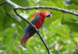 Scarlet Macaw  012010-7j  Yasuni