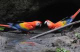 Scarlet Macaws  012010-4j  Yasuni