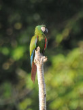 Chestnut-fronted Macaw  011910-3j  Sani