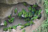 Dusky-headed Parakeet  012010-1j  Napo River