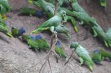 Blue-headed Parrot  012010-1j  Yasuni
