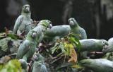 Mealy Amazon Parrot  012010-4j  Yasuni