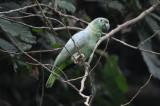 Mealy Amazon Parrot  012010-5j  Yasuni