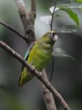 Scarlet-shouldered Parrotlet  012010-2j  Yasuni