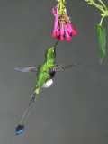 Booted Racket-tail  011510-5j  Tandaypa