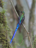 Violet-tailed Sylph  011110-2j  Angel's