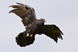 Raven overhead, wings partially outstretched, left wing tip out of focus