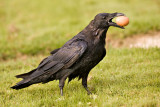Raven carrying brown egg
