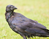 Raven with head turned