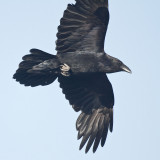 Raven in flight, part of wing out of frame