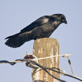 Another raven on a pole