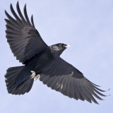 Raven overhead, both wings extended