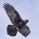 Raven overhead, one wing extended, one slightly bent
