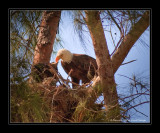 Adult Feeding Young Eagle