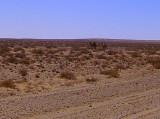 Wild Camels Flee