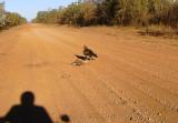 Wedge Tail Eagle on 'Roadkill