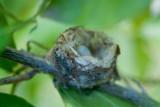 Egg in nest hummingbird.jpg