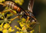 Wasp 5574 (V70)