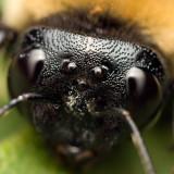 Bumblebee face 5683 (V70)