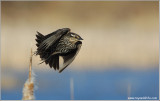 Female Red-winged Blackbird flight  re:edit