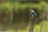 Collared Kingfisher re:edit