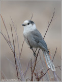 Gray Jay re:edit