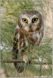 Northern Saw-whet Owl (re-edit)