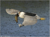 Black-Crowned Night Heron in Flight with Dinner