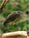 Yellow-crowned Night Heron (Juvenile) 1