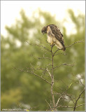 Red-tailed Hawk re-edit