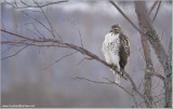 Red-tailed Hawk 222