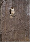 Red-tailed Hawk Hunting 240
