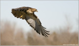 Red-tailed Hawk Lift Off 3