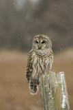 Barred Owl    Re-edit 1