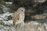 Barred Owl    Re-edit 8