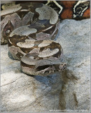 Red Tail Boa Constrictor (captive)