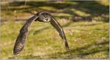 Euraisian Eagle Owl   (captive)