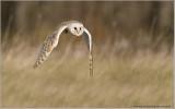 Barn Owl   (captive)