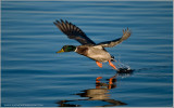 Male Mallard Lift off