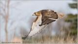 DSC_6033 Red-tailed Hawk web.jpg