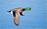 Mallard in Flight over ice