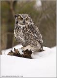 Great-Horned Owl   (captive)