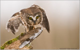 Saw-whet Owl ... Captive