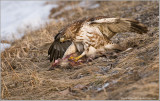 Red-tailed Hawk and Opossum