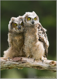 Great Horned Owlets   (captive)