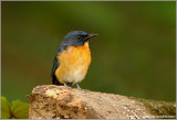 Mangrove Blue Flycatcher  re: edit