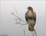 Red-tailed Hawk 85