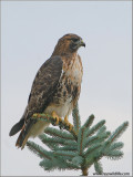 Red-tailed Hawk 88
