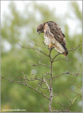 Red-tailed Hawk 89